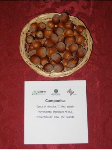 фундук Camponica