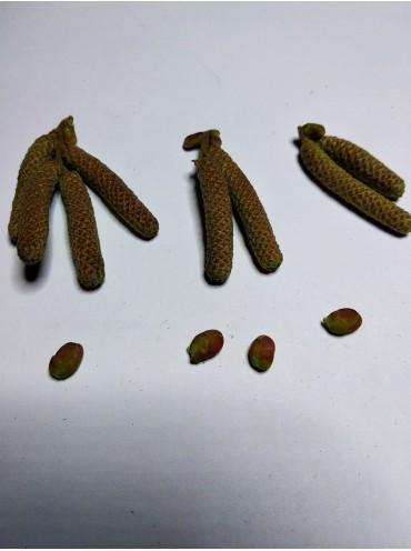 саджанці фундука Вебба Цінний