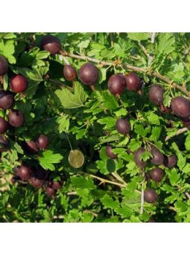 агрус Полонез