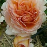 троянда Abraham Darby