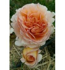 троянд Abraham Darby