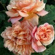 Троянда витка Алоха