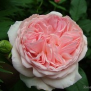 троянда A Shropshire Lad