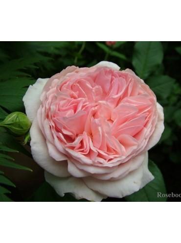 троянда Е Шропшир Лед