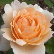 троянда Ambridge Rose