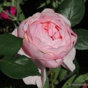 троянда Brother Cadfael