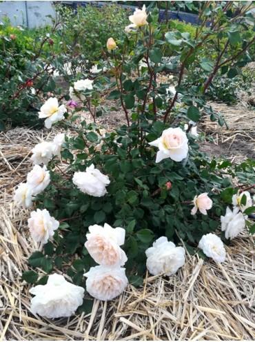 троянда Крокус Роуз