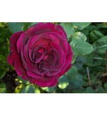 троянда Fisherman's friend