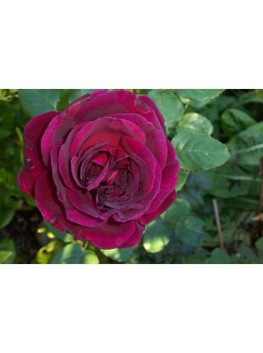 Троянда Фішеменс Френд
