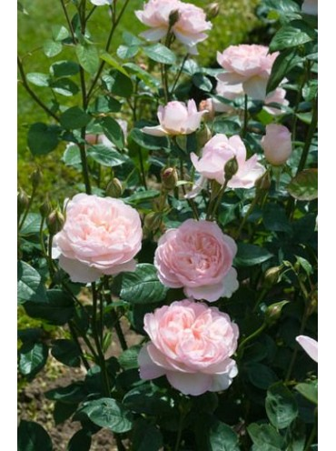 троянда Джентл Герміоне