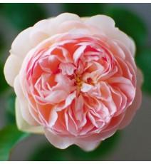 троянда Gentle Hermione