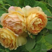 троянда Golden Celebration