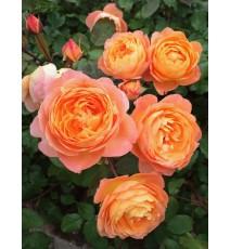 троянда Lady Emma Hamilton
