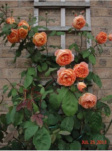 Троянда Леді Емма Гамільтон