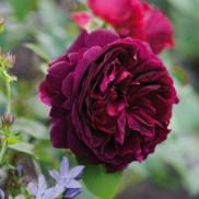 троянда Munstead Wood