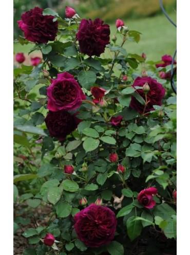 Троянда Манстед Вуд