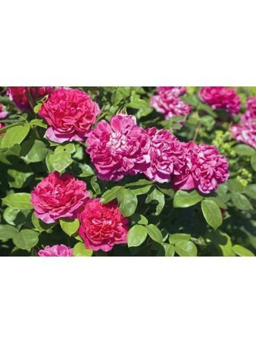 Троянда Софі роуз