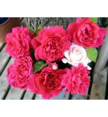 троянда Sophy's Rose