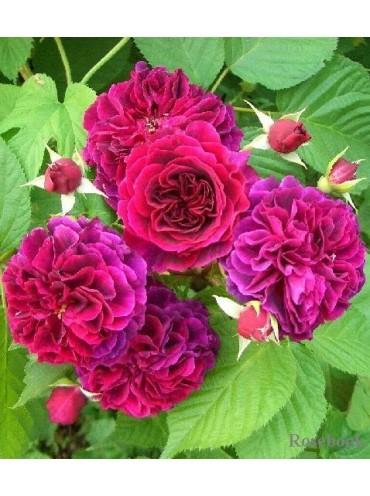троянда Традескант