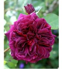 троянда Tradescant