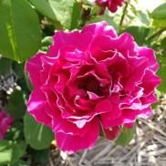 троянда Baron Girod de L'Ain
