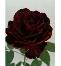 Троянда Блек Баккара