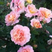 троянда Августа Луїза