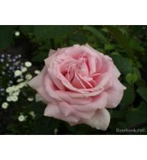 троянда Frederic Mistral