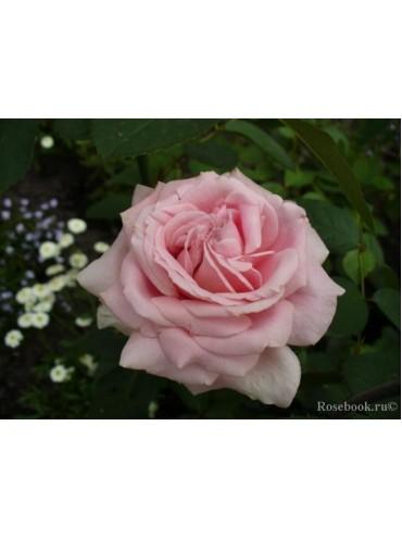 троянда Фредерік Містраль