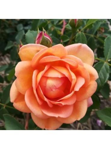 троянда Lady of Shalott