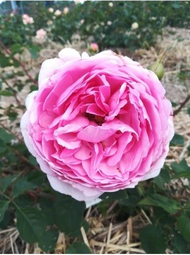 троянда Princess Alexandra of Kent