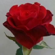 Троянда Ель Торо