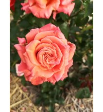 троянда Ann Henderson