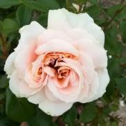 троянда Lions Rose