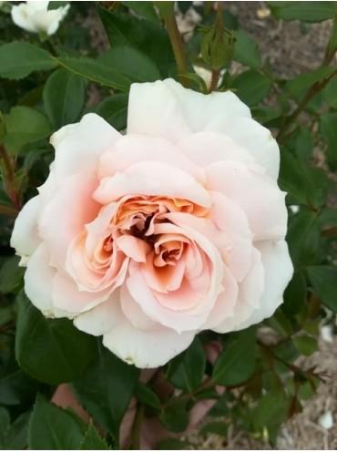 Троянда Лайонс Роуз