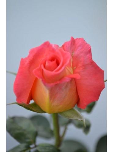 Троянда Фольклор