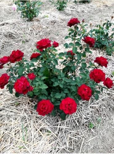 троянда Хайнц Вінклер