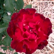 троянда Heinz Winkler