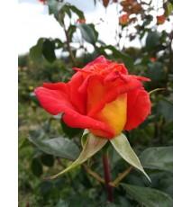 троянда Конфетті
