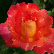 Троянда Lustige