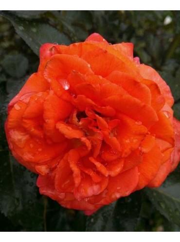 Троянда Магдалена
