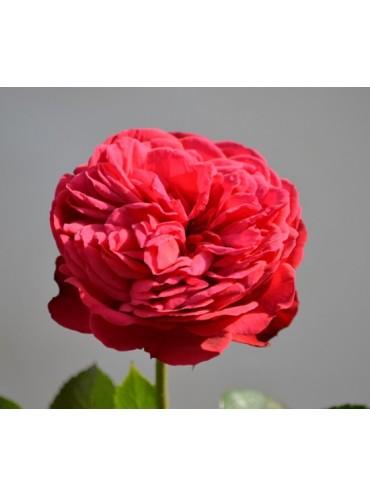 Троянда Піано