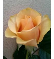 Троянда Прима Донна