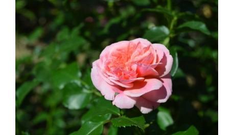 Акція - троянд багато не буває!