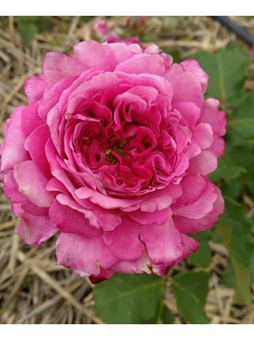 троянда Agnes Schilliger