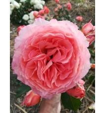 троянда Belvedere