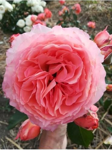 троянда шраб