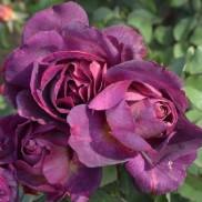 Троянда Diablesse De Mers