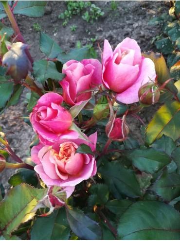 Троянда шраб Distant Drums