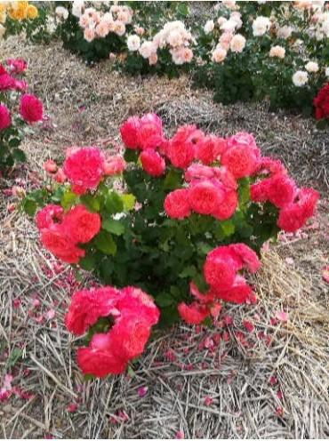 троянда Emilien Guillot